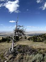 Wiley Ole' Tree- Casper Mountain, WY