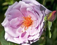 Beautiful Lavender coloured Rose