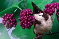 Beautyberry and Red-whiskered Bulbul