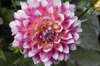 White Tipped Pink Lady Dahlia