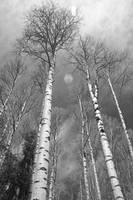 Towering Aspen Trees in Black and White