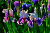 Irises--By the Master Painter