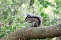 California Gray Squirrel