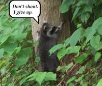 Raccoon up tree