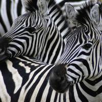 Two in Black and White by Laura Mountainspring