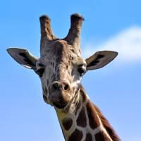 Giraffe! by Laura Mountainspring