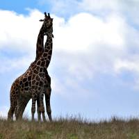 LOVE, a Giraffe Tale by Laura Mountainspring