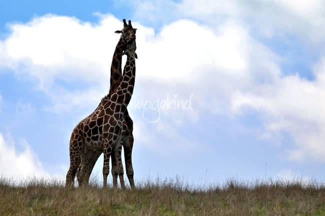 LOVE, a Giraffe Tale