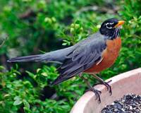 American Robin at the Seed bin.