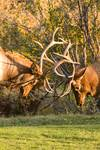 """Two  Elk Bulls Sparring by James """"BO"""" Insogna"""