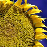 Large Sunflower Against Blue in Macro by Laura Mountainspring