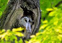 Baby Owls in nesting hole