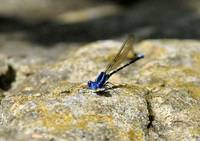 You lookin' at me (tiny blue damselfly)