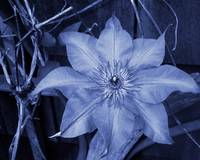 Clematis in Cyanotype