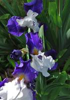 Beautiful Iris