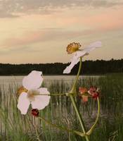 Arrowhead Flowers in Sunset