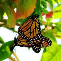 """Mating Monarchs"" by artafire"