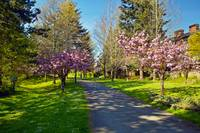 The Prunus Path, Vancouver BC by Priscilla Turner