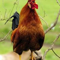Rooster Perched Like a Songbird...As If! by Laura Mountainspring