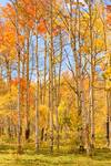 "Aspen Fall Foliage Vertical Image by James ""BO"" Insogna"