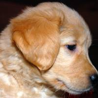 Golden Retriever Puppy in Profile by Laura Mountainspring