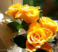 Midday Yellow  Roses