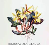 Brassavola glauca Botanical Illustration