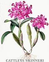 Cattleya skinneri Orchid Botanical Illustration