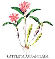 Cattleya aurantiaca Orchid Botanical Illustration