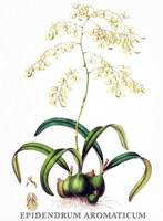 Epidendrum aromaticum Orchid Botanical Illustratio