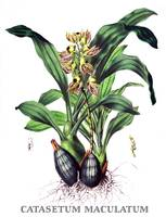 Catasetum maculatum Orchid Botanical Illustration