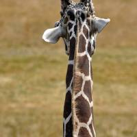 Giraffe From Behind II by Laura Mountainspring