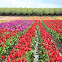 Colorful Rows, Tulips in the field by Laura Mountainspring
