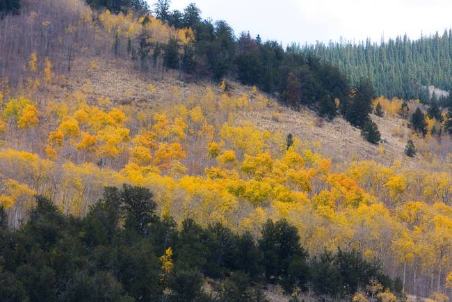 Rocky Mountain Aspen Autumn View