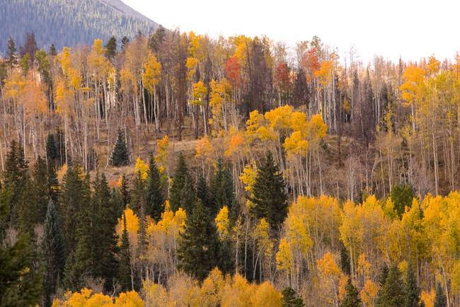 Colorado Autumn Aspen Views