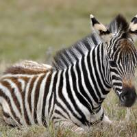 Baby Zebra by Laura Mountainspring