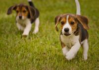 here come the beagles
