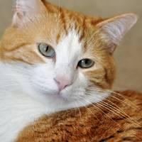 Orange Tabby, Reflective by Laura Mountainspring
