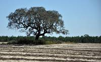 Tree in Plowed Field
