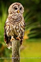 South Florida Barred Owl