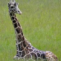 Tall In the Grass, a Giraffe by Laura Mountainspring
