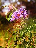Curlicue Asters