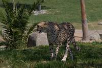 Cheetah in the shade.