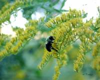 Goldenrod and Bumblebee