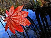 Red Leaf With Reflected Sky
