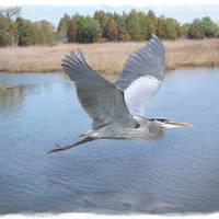 """""""Great Blue Heron in Flight 2"""" by nancielaing"""