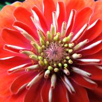 Blooming Zinia Art Prints & Posters by Mark and Rebecca DeSantis