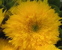 teddybear sunflower
