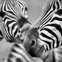 Zebras in Black and White by Laura Mountainspring