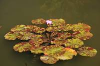 Water Lillies (11)